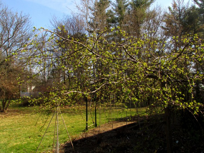 weeping 'Jade' crabapple starting to leaf out