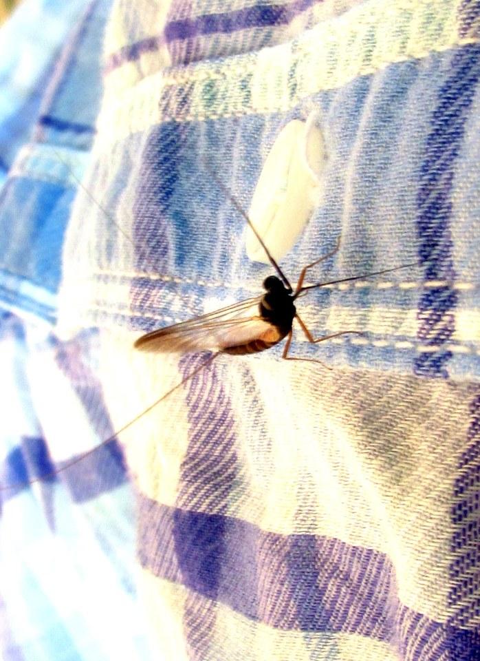 mayfly on my shirt