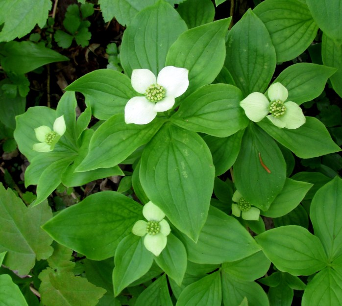 bunchberry clump