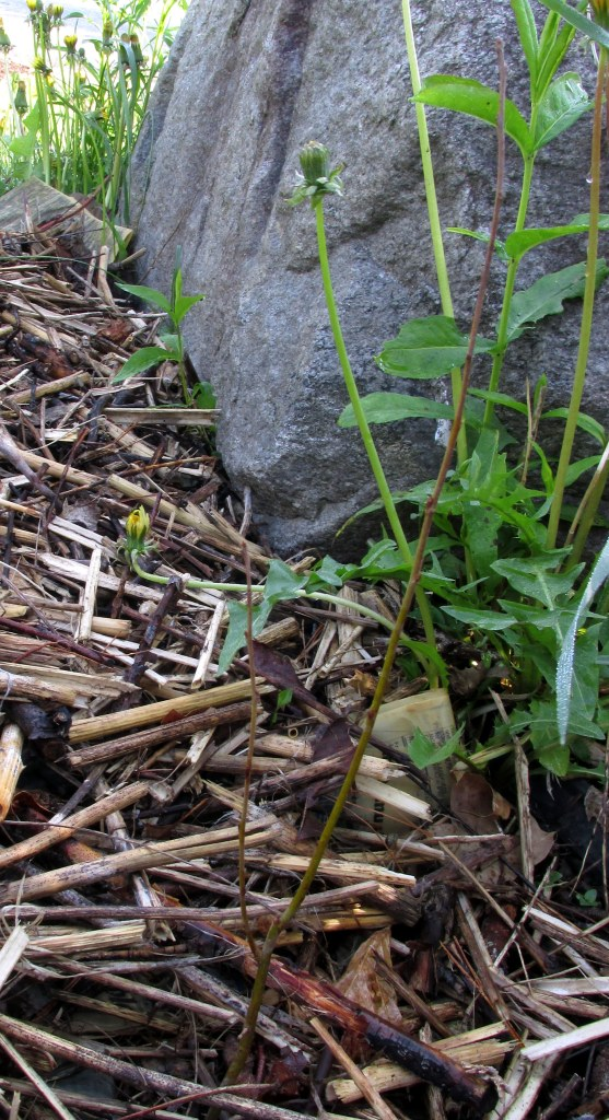 can you see the crabapple stick? in front of the dandelion ... 25 May