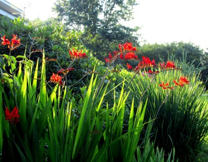 crocosmiainfrontborder29July2015