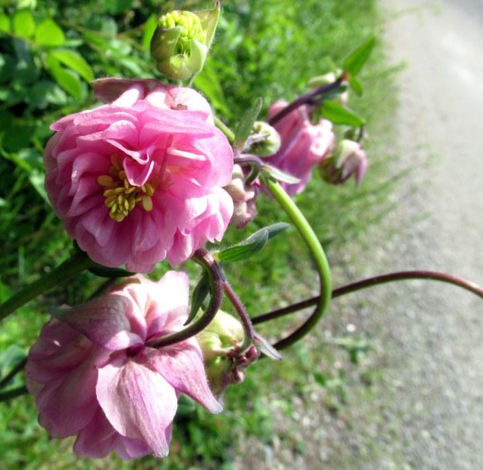 doublefloweredpinkcolumbineflowerNRT28May2016