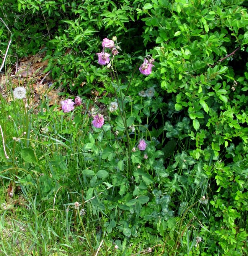 doublefloweredpinkcolumbineplantNRT28May2016