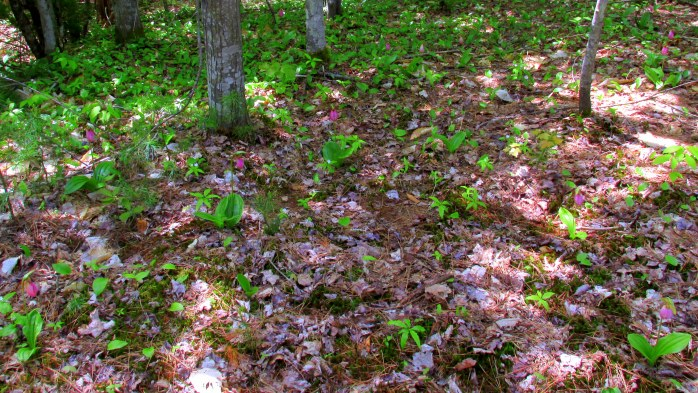 Can you spot all 13 pink lady slippers?