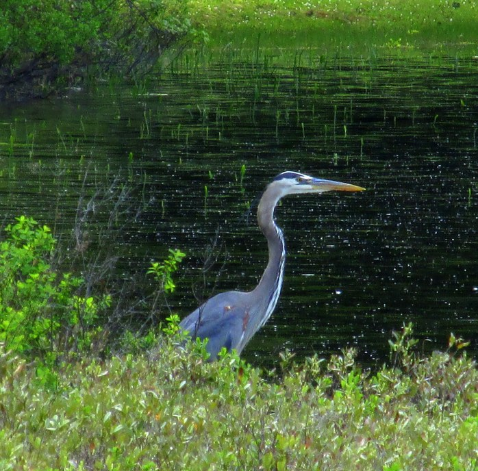 great blue heron at nearby pond