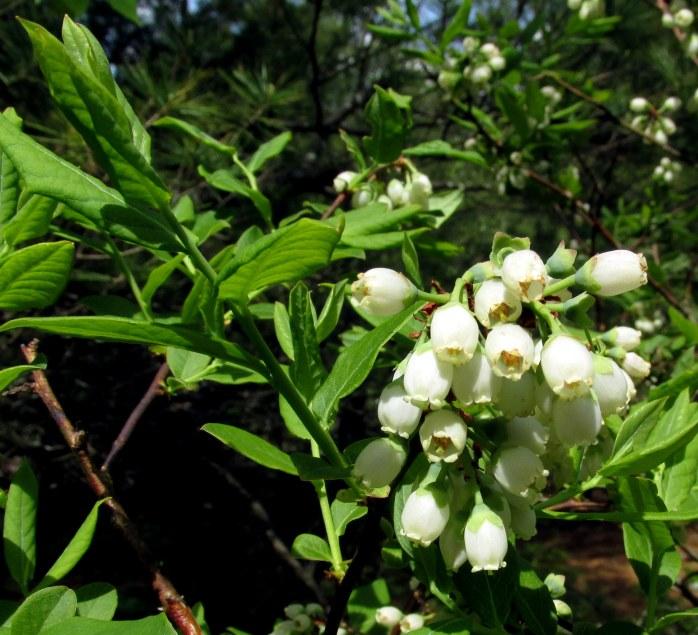 highbush blueberry flowers