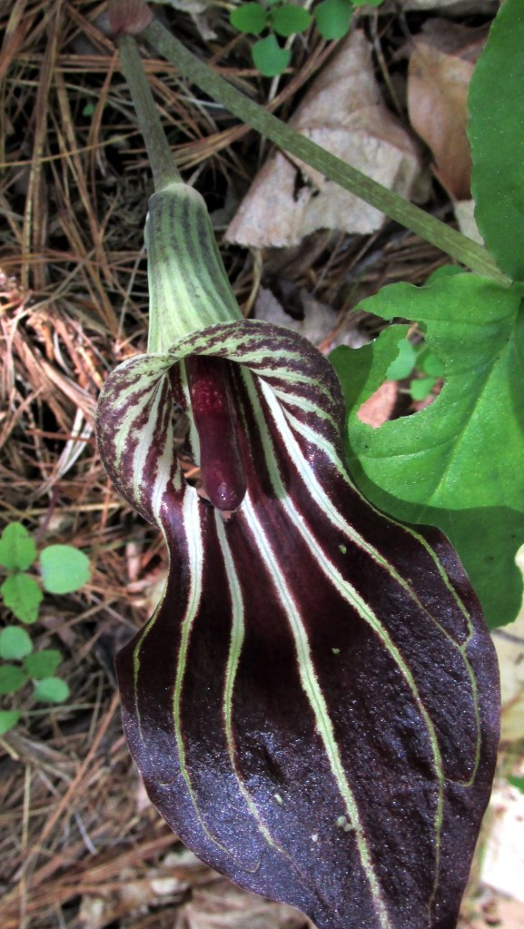 inside a Jack in the Pulpit