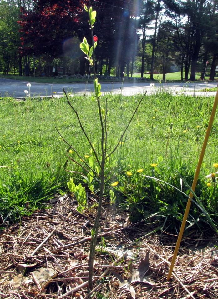 Lindera benzoin (spicebush) that remains and seems healthy, 25 May