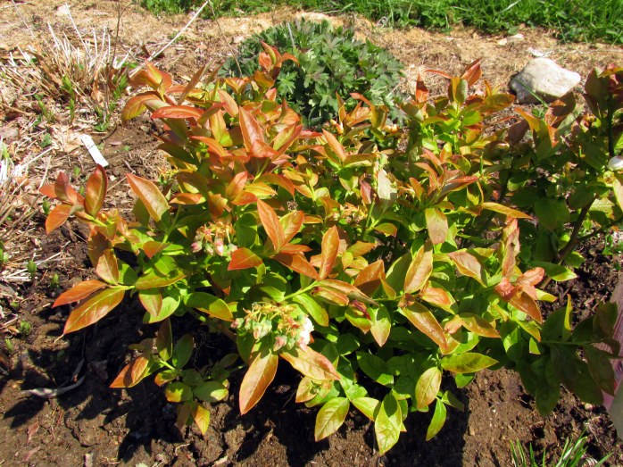"new ""Jelly Bean"" blueberry shrub in front garden, 12 May"