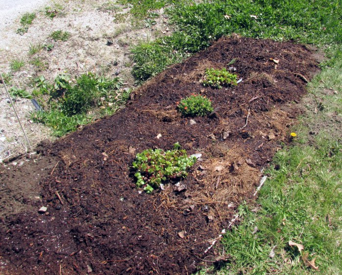 new sheet mulched area by road, with sedums and ice plant, 12 May