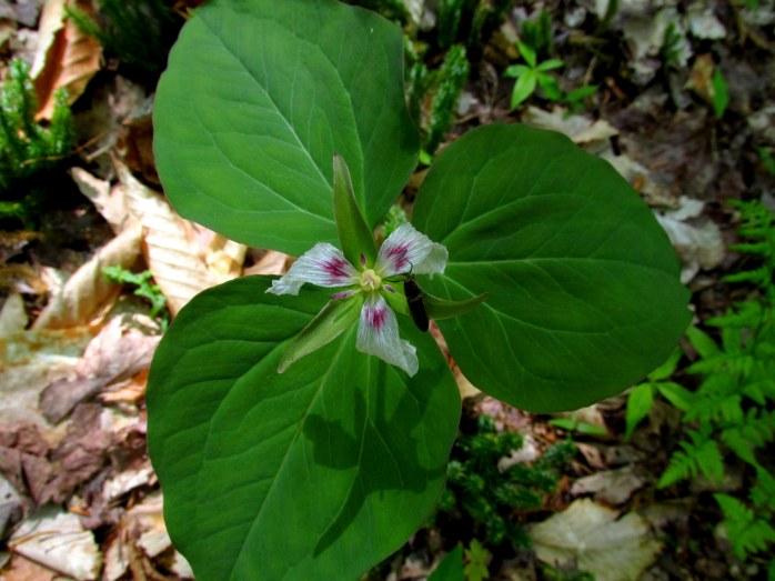 painted trillium, mostly gone by