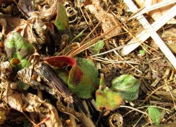 persicariapainterspalettefoliagebackborder13May2016