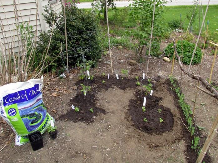 planting tomatoes, basil