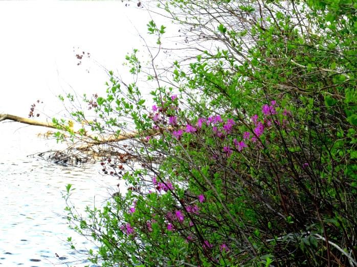 azalea at pond