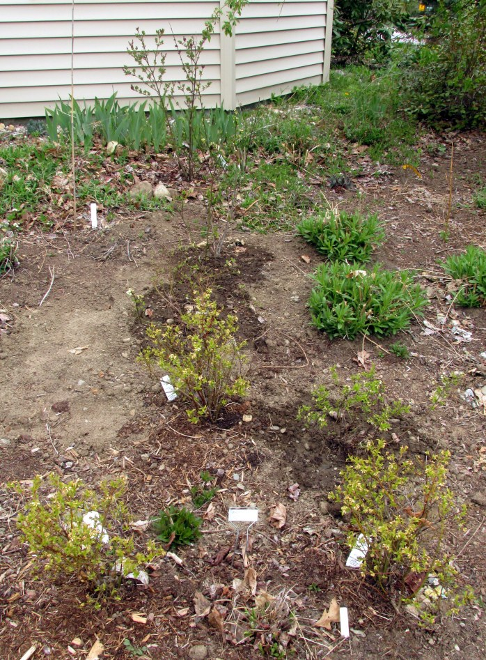six blueberries in the side bed (three transplanted from another area)