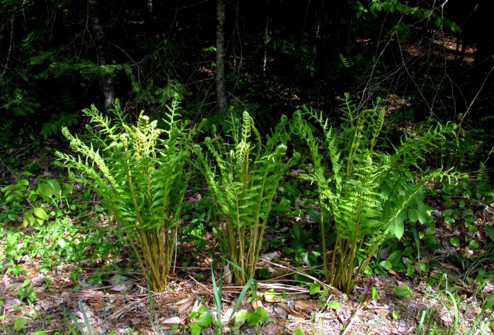 trio of (cinnamon?) ferns along the road