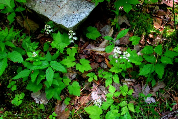 tiarella (foam flower)
