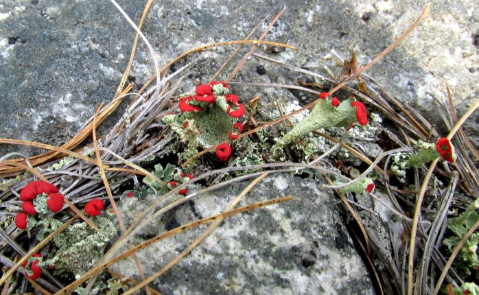 tiny British soldiers lichen