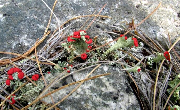 tiny British soldiers lichen