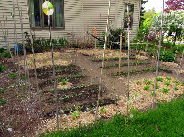 veggie garden fully planted, 23 May