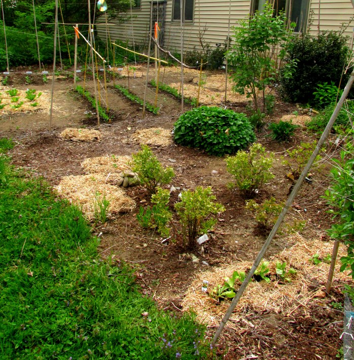 veggie garden and side yard garden (which also has some veggies planted in it), 23 May