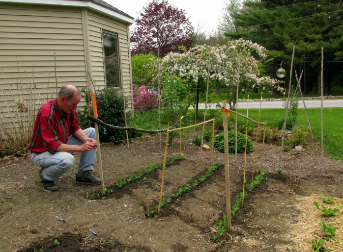 making the pea trellis, 21 May