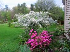 weepingJadecrabappleandOlgaMezittrhododendroninbloom19May2015