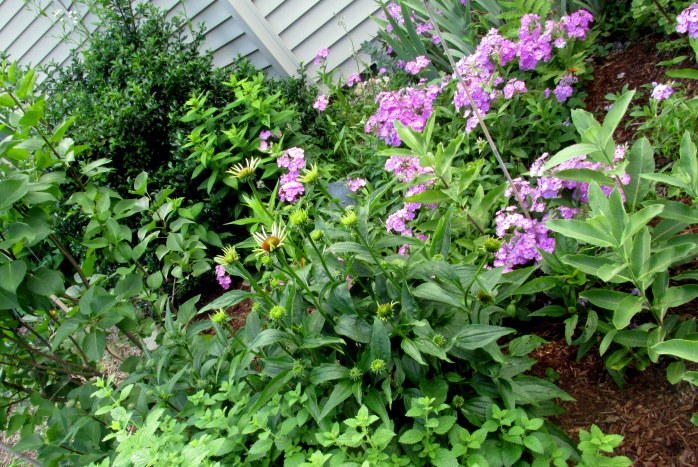 'Antia Kistler' phlox, lemon balm, lilac, holly, milkweeds, echinacea, etc.