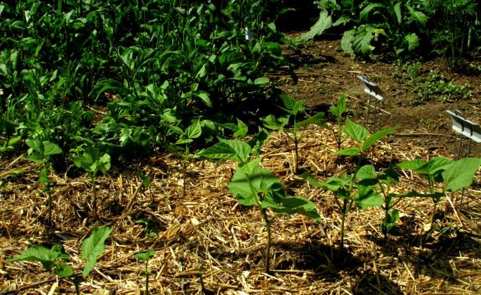 'Provider' green bean seedlings