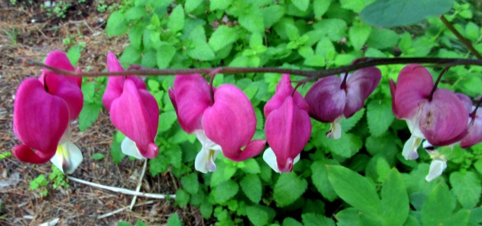 blurry bleeding heart ... all the others finished a month ago, but this one persists