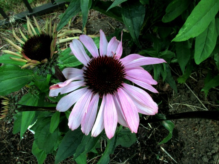 a new 'Bravado' echinacea given to us by spouse's vanpool driver