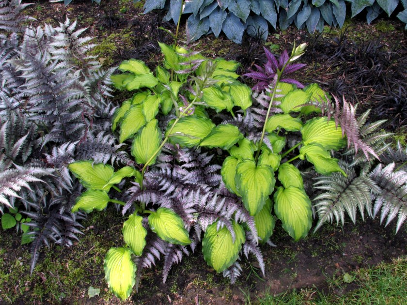 excellent pairing of chartreuse hosta with Japanese painted fern