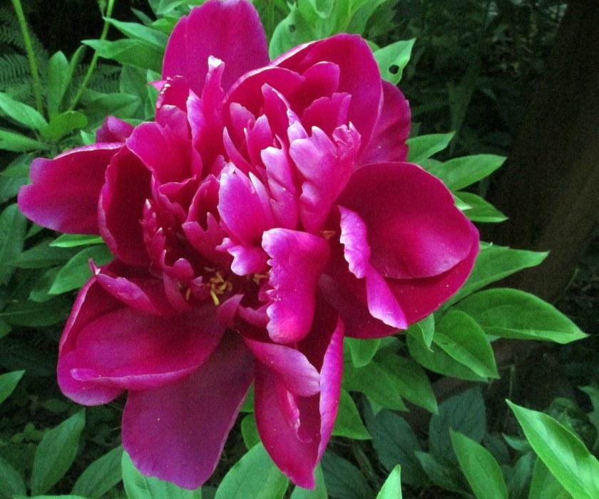 dark pink peony