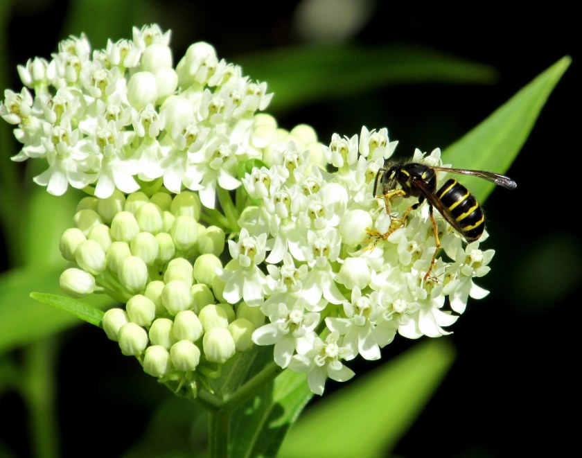 Northern aerial yellow jacket