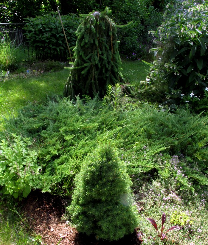 dwarf Alberta spruce, weeping Norway spruce, and juniper in between ... also a little lemon balm, comfrey, and thyme