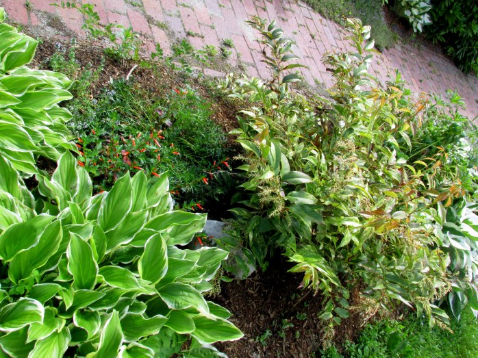 'So Sweet' hosta, leucothoe, annual cuphea, pasque flower