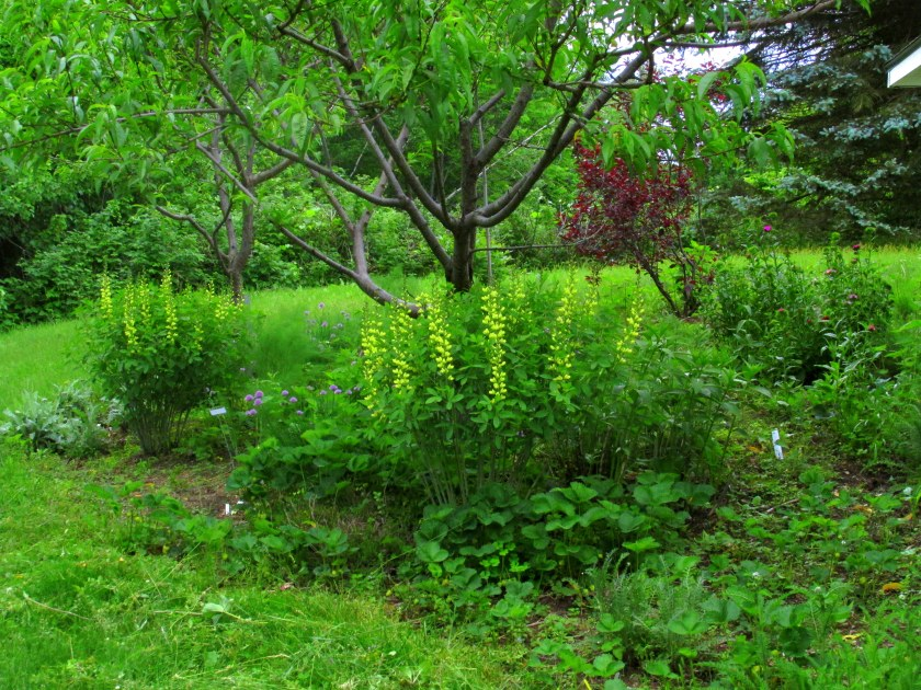 earlier in the month, with the 'Carolina Moonlight' baptisia in bloom