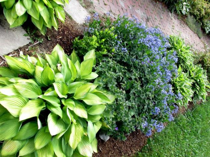 'Gold Standard' hosta, amsonia, geranium, 'So Sweet' hostas, and small highbush blueberry