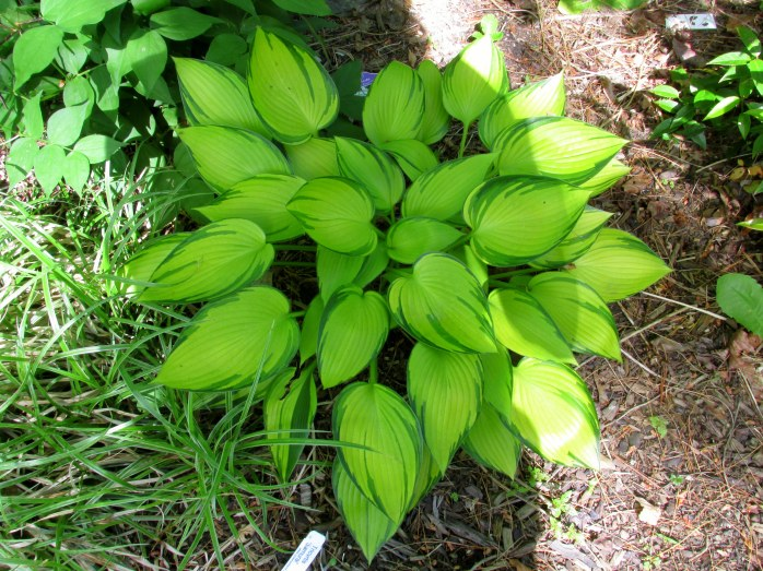 my beloved 'June Fever' hosta