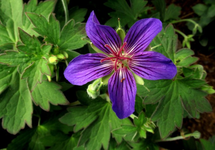 'Johnson's Blue' geranium