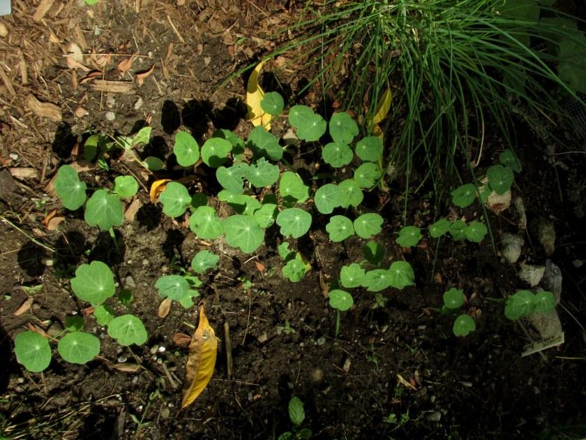 nasturtium seedlings
