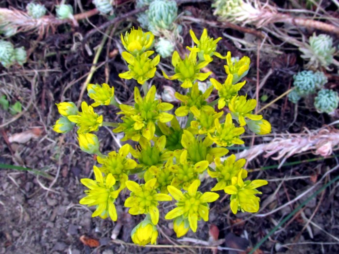 'Oracle' sedum flower ... the plant looks awful, the flowers still bloom