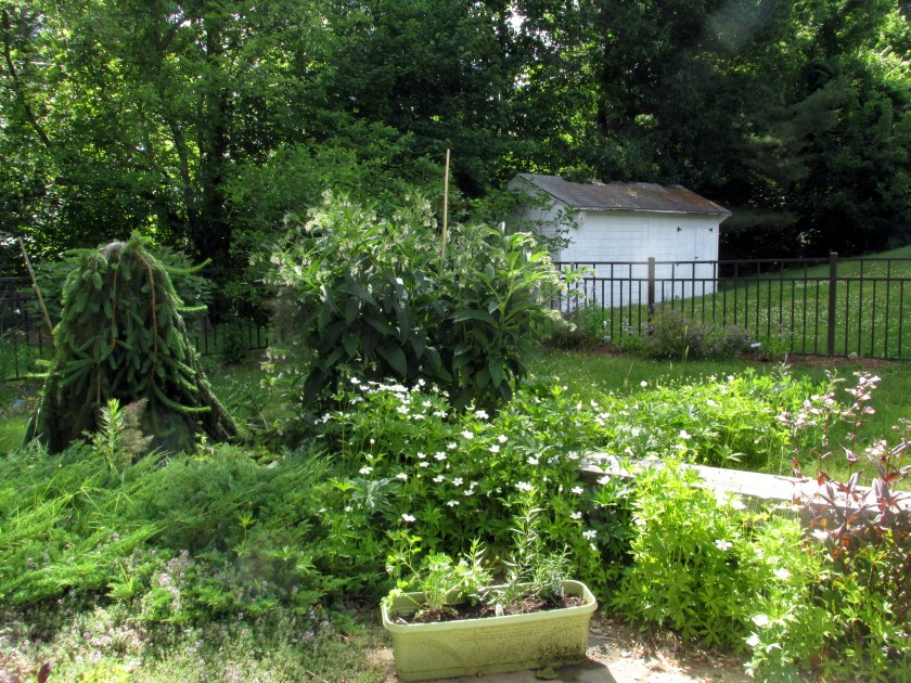 patio, weeping spruce, comfrey, anemone, juniper, herb box, shed