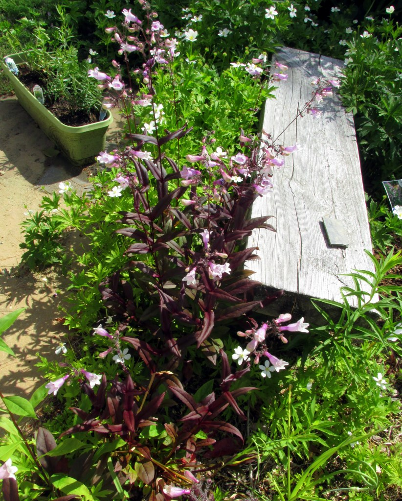 bench garden, with penstemons, anemone, and herb box