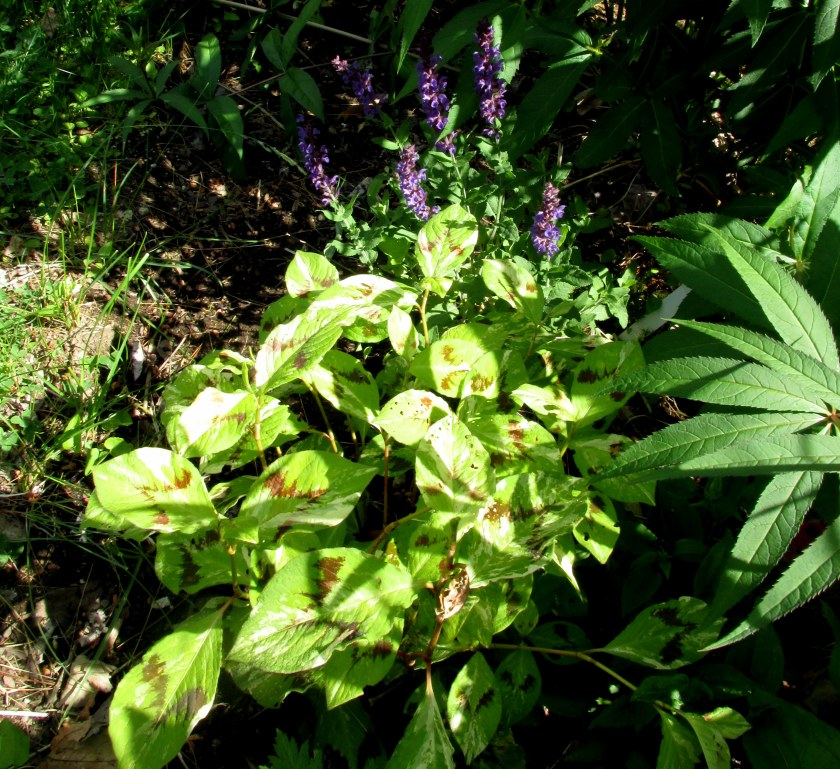persicaria 'Painters Palette' and a salvia
