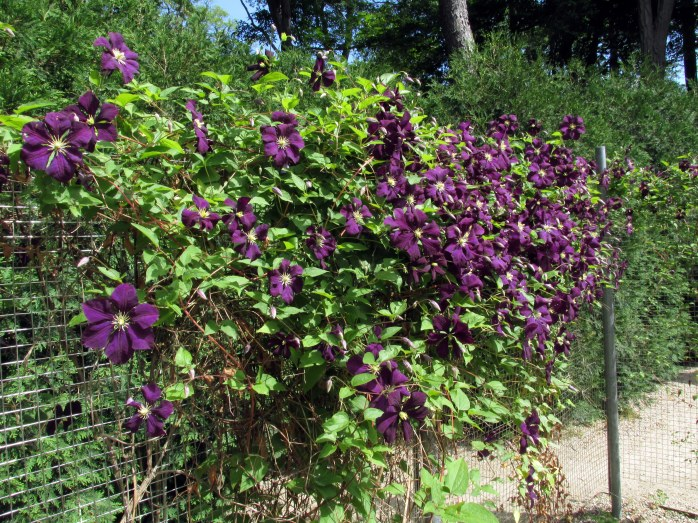 clematis in maze