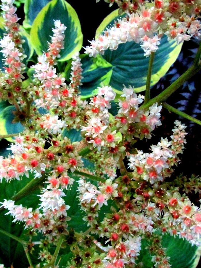 Rodgersia in bloom a few days ago