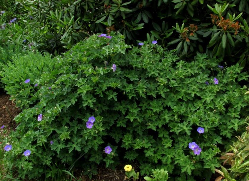 'Rozanne' geranium starting to bloom