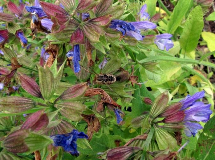 harvestman spider on sage in back yard