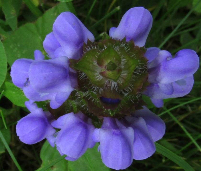 self-heal (prunella) in lawn